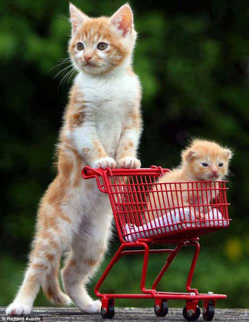 Mother cat taking little baby kitten for shopping