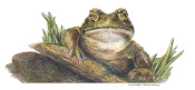 Garden toad , colored pencil