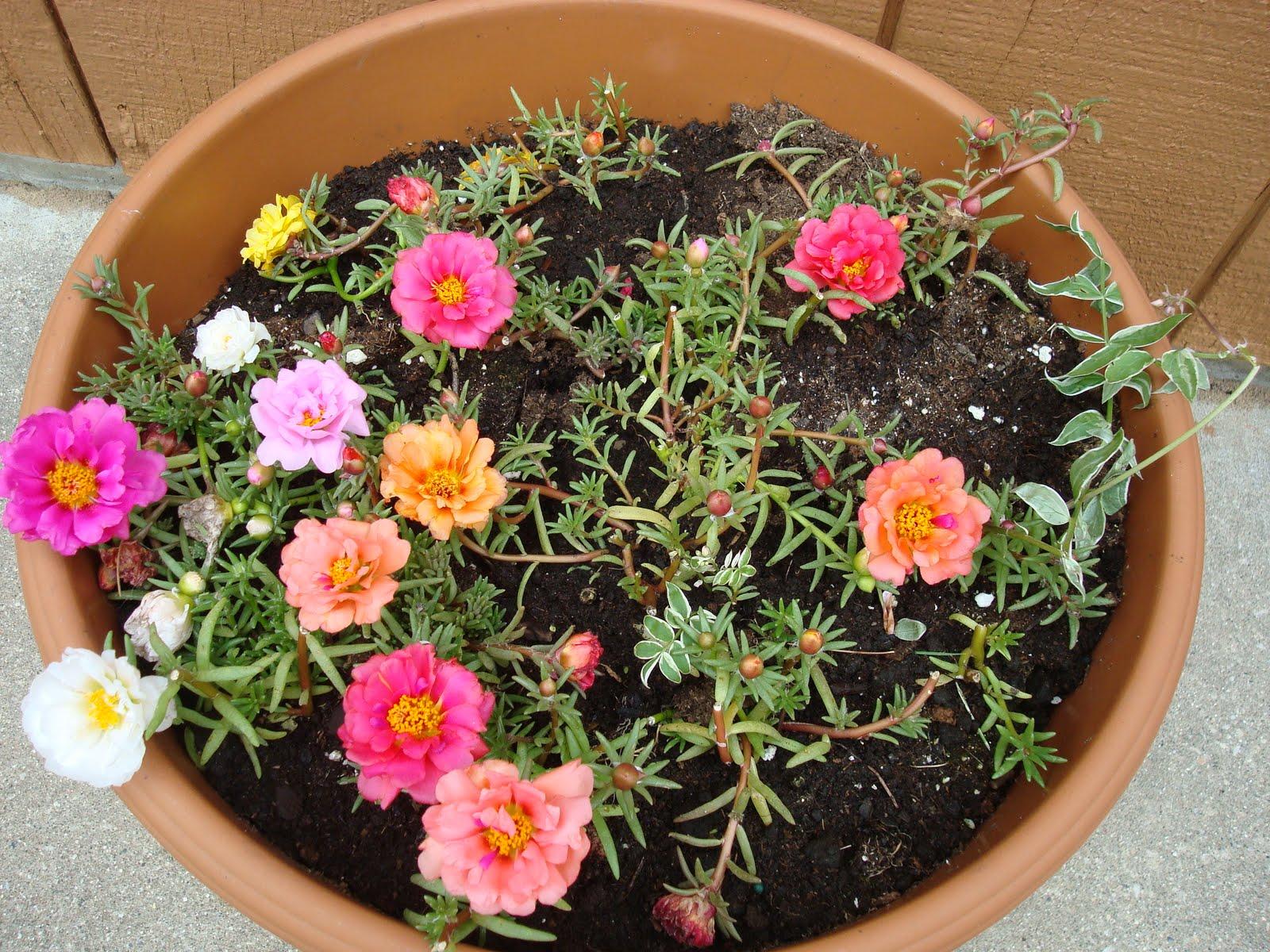 Портулак цветы выращивание из семян фото