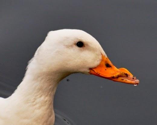 Aylebury duck with deformed beak