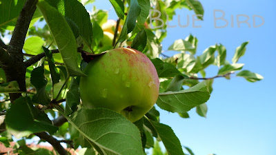 Garten im September - Apfel Topas