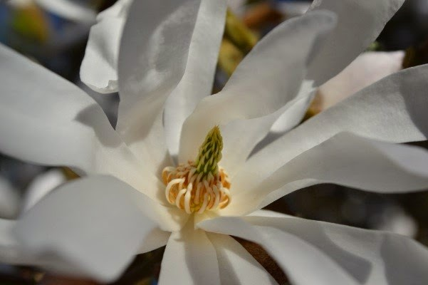 Magnolias are popping up all over the gardens