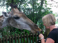 Giraffe feeding - Singapore zoo