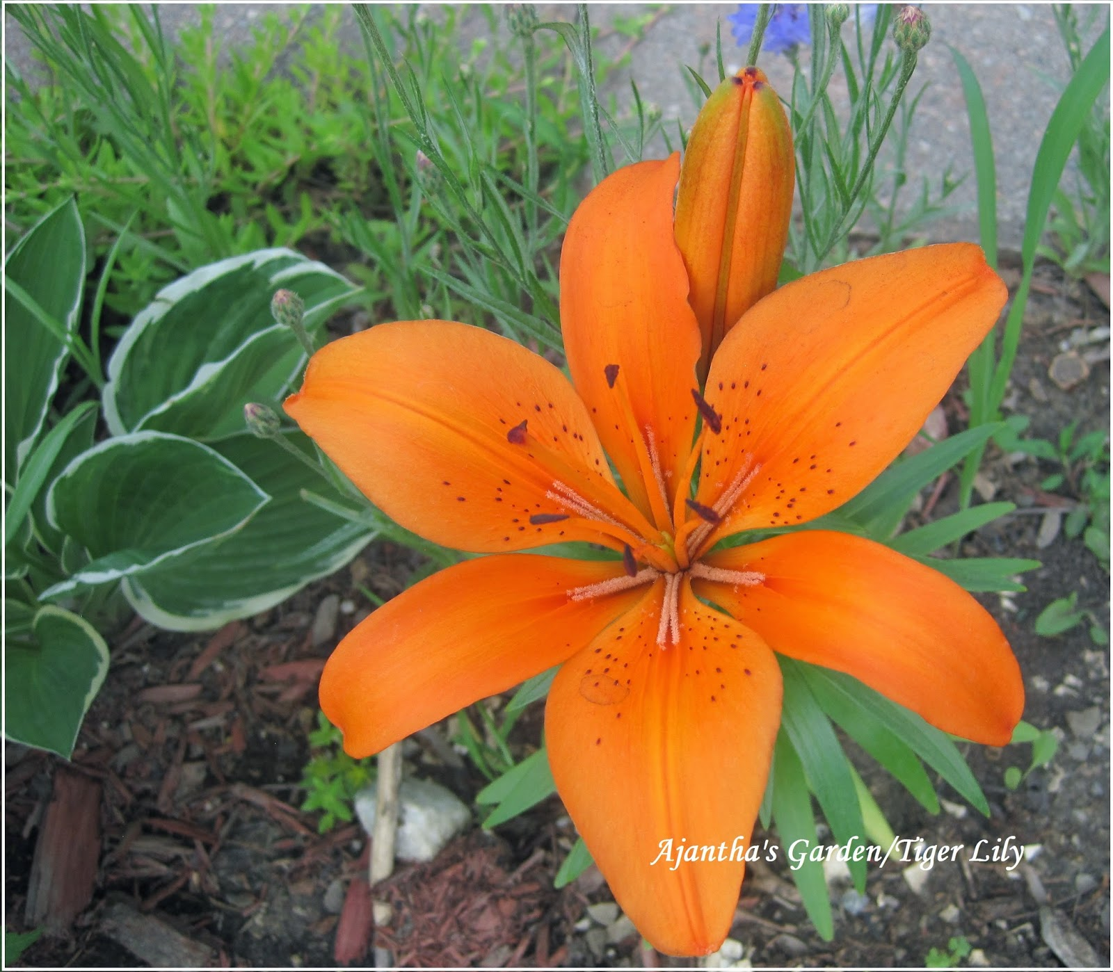 Ajantha's Garden/Tiger Lily