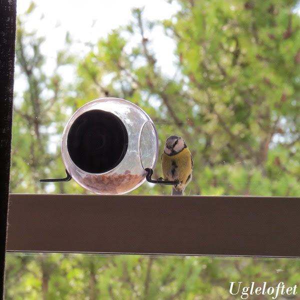 Fuglemater vindu sugekopp