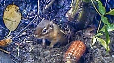 Eastern Chipmunk in burrow