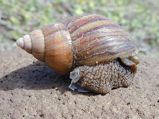 giant african land snail