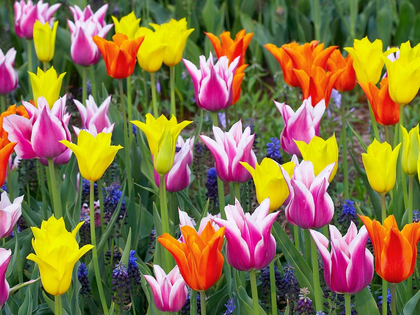 http://4.bp.blogspot.com/-XHeAULvjjc8/TZMoskMS8NI/AAAAAAAAB6Q/SwOb2ZiDfME/s1600/Colorful_Tulips_Keukenhof_Gardens_Lisse_Holland.jpg