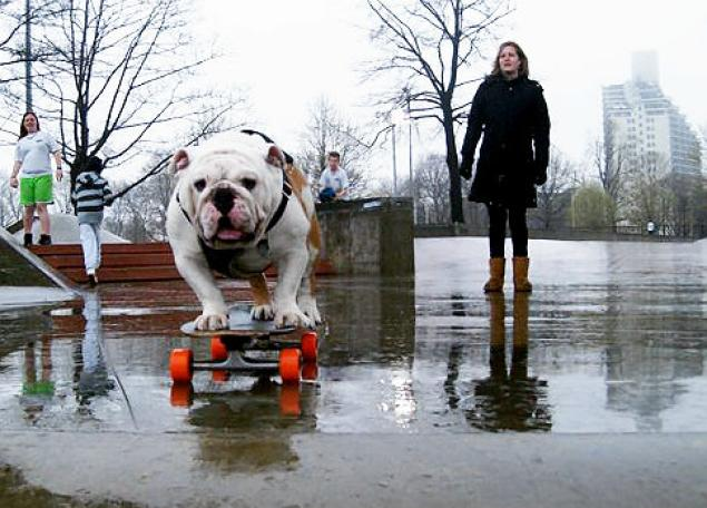 Beefy, the skateboarding dog