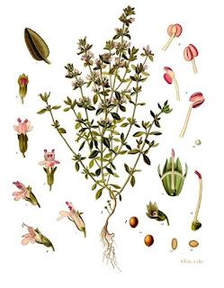 """Köhler–s Medizinal-Pflanzen-271"""" autorstwa Franz Eugen Köhler, Köhler's Medizinal-Pflanzen - List of Koehler Images. Licencja Domena publiczna na podstawie Wikimedia Commons - https://commons.wikimedia.org/wiki/File:Thymus_vulgaris_-_K%C3%B6hler%E2%80%93s_Medizinal-Pflanzen-271.jpg#/media/File:Thymus_vulgaris_-_K%C3%B6hler%E2%80%93s_Medizinal-Pflanzen-271.jpg"""