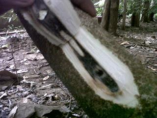 prospek bisnis investasi pohon gaharu