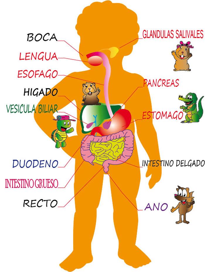 De tus pies a tu cabeza: El aparato digestivo