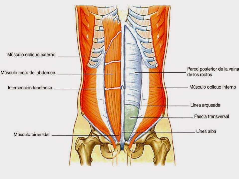 Morfofisiologia1 : PARED ABDOMINAL