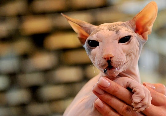canadian sphynx cat pictures
