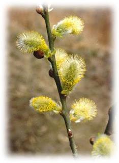 Ива козья (ива-бредина)-лесные деревья медоносы