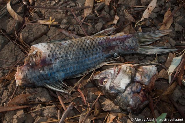 Carp is most common, but least popular fish in Murrumbidgee