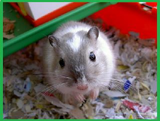 Ciri ciri hamster yang sedang sakit yang harus kamu tau