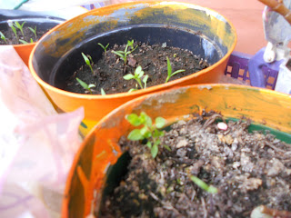 semina peperoni