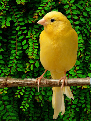 Canary Bird Pictures