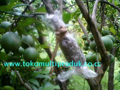 Cara Mencangkok Pohon Jeruk