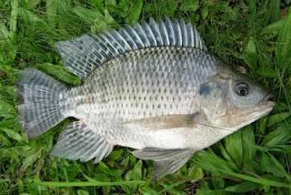 Beragam Manfaat Ikan Air Tawar
