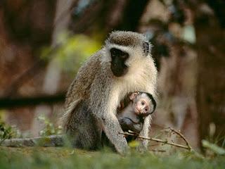 Foto Monyet Lucu Gendong Anak