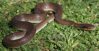 Serpiente de labios rojos Crotaphopeltis hotamboeia