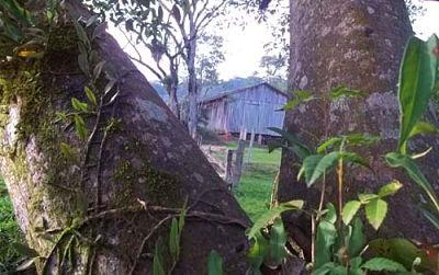 árvores, troncos, folhas, figueira