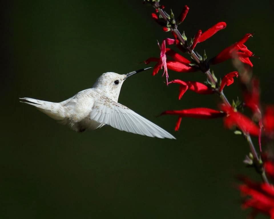 White hummingbird at Inniswood Gardens: a recap