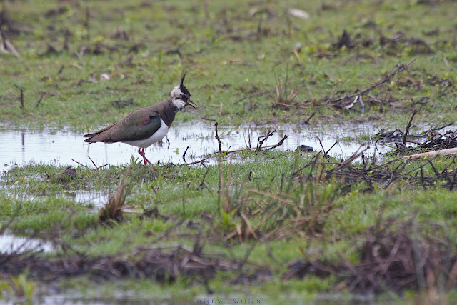 Kievit - Northern Lapwing - Vanellus vanellus