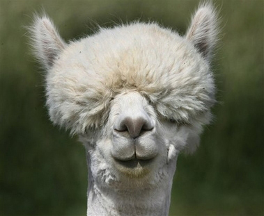 Hilarious Llama Pictures Funny Llama pictures f...