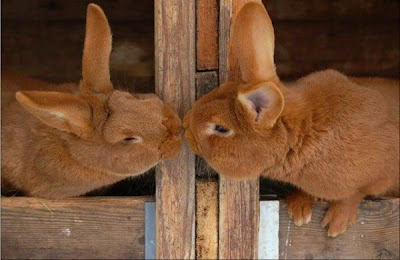 animals Rabbits kissing pictures