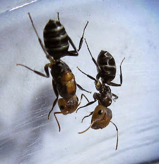 Gyne and major worker of Camponotus bedoti