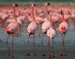 El flamenco rosado