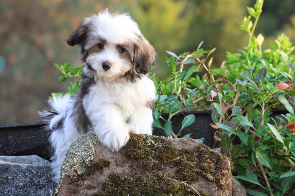 Rules of the Jungle: Havanese puppies