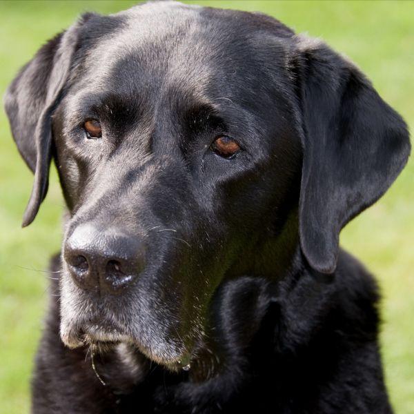 Cute Dogs|Pets: Black Lab (Labrador ) Retriever Pictures