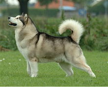 Alaskan Malamute Dog Pictures 2