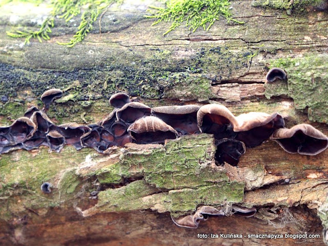 uszaki bzowe , grzyby nadrzewne , grzybki , grzyby jadalne , atlas grzybów , grzyby gatunkami , ucho judasza , wiosna ,  zarośla łęgowe , spacer , wycieczka ,  nad wisłą