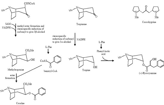 Biosynthesis of Hygrine, Cuscohygrine, Cocaine, Carbamoyl Ecgonine (Methyl-ecgonine) and Hyoscyamine