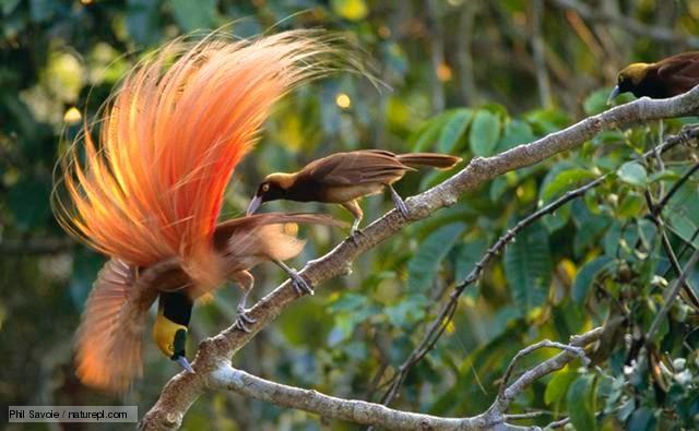 Birds of paradise species