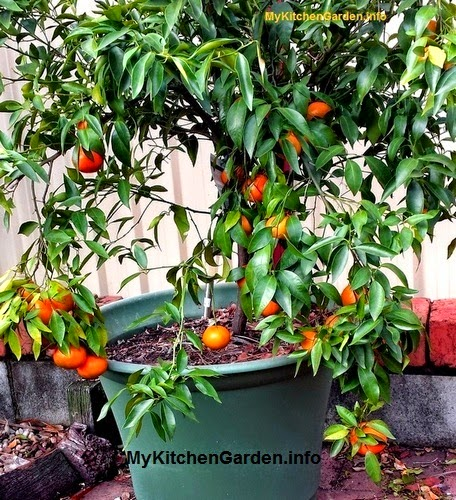 Imperial Mandarin Orange Tree grown  in a Pot