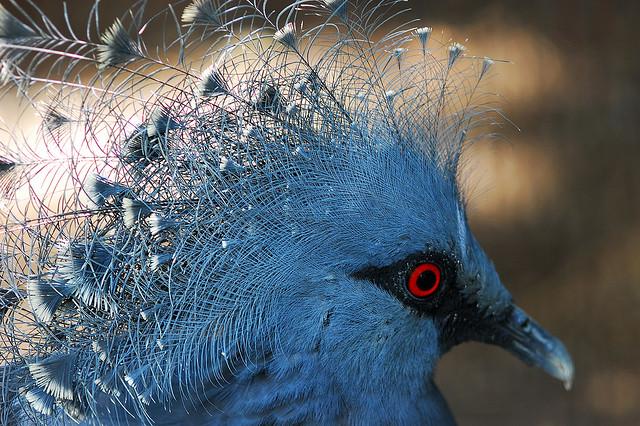 victoria+crowned+pigeon+8 أكبر حمامة في العالمحمامة فكتوريا المتوجة
