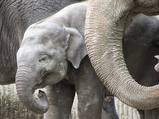 The cutest baby elephant calf ever