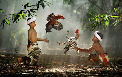 Pelea de gallos en Indonesia - Cockfight