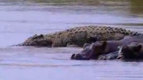 Questões e Fatos sobre Crocodilianos gigantes: Transferência de debate da comunidade Conflitos Selvagens.  - Página 2 Gustave15