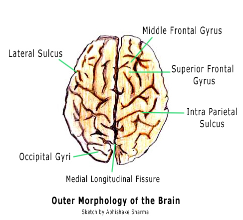 Labeled internal diagram of the brain diigo groups labeled internal diagram of the brain ccuart Image collections