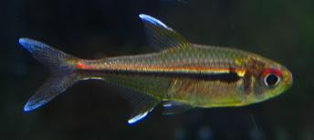 Bystrzyk trȯjpręgi - ryby akwariowe - zdjęcia cz2