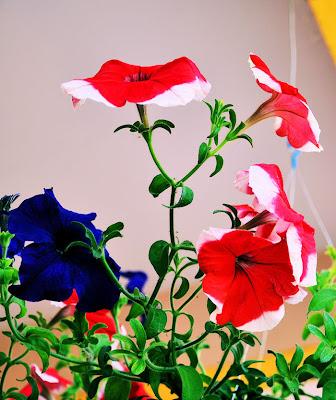 Flores Petunias de Colores