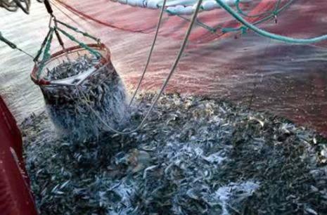 Les oiseaux marins menacés de famine à cause de la surpêche