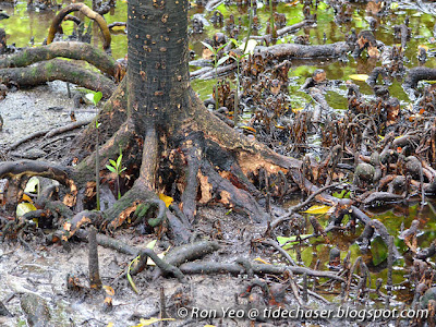 Bakau Putih (Bruguiera cylindrica)